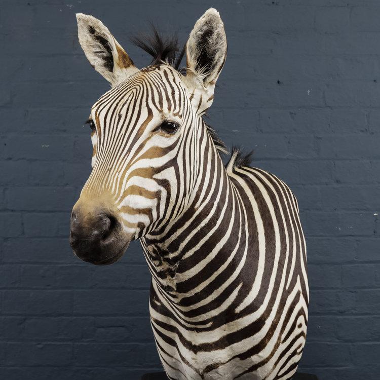 Zebra+Bust+One-1