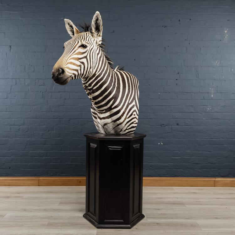 Zebra+Bust+One-10