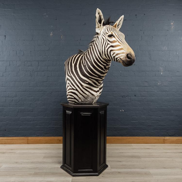 Zebra+Bust+One-12