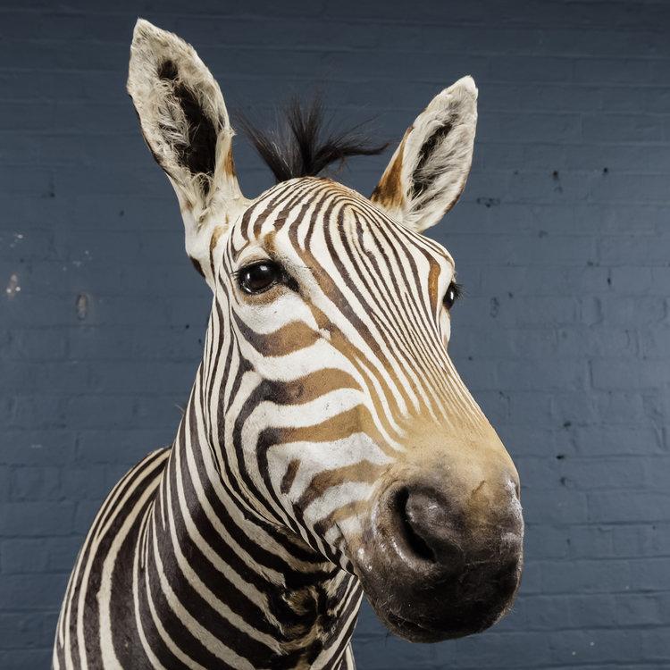 Zebra+Bust+One-13