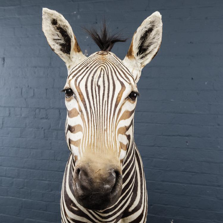 Zebra+Bust+One-14