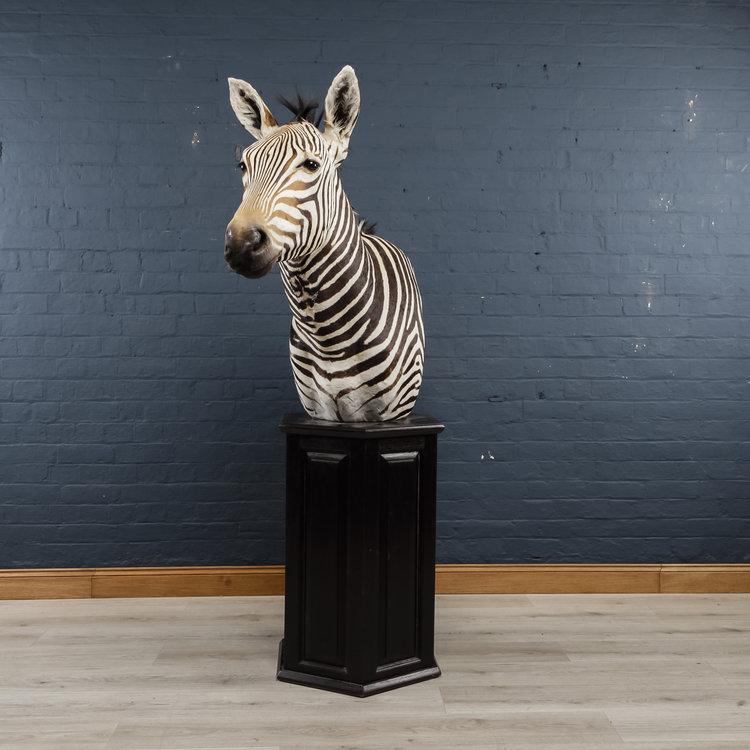 Zebra+Bust+One-3