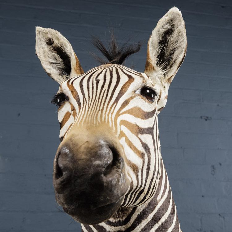 Zebra+Bust+One-5