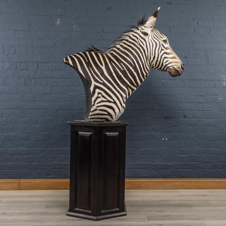 Zebra+Bust+One-7