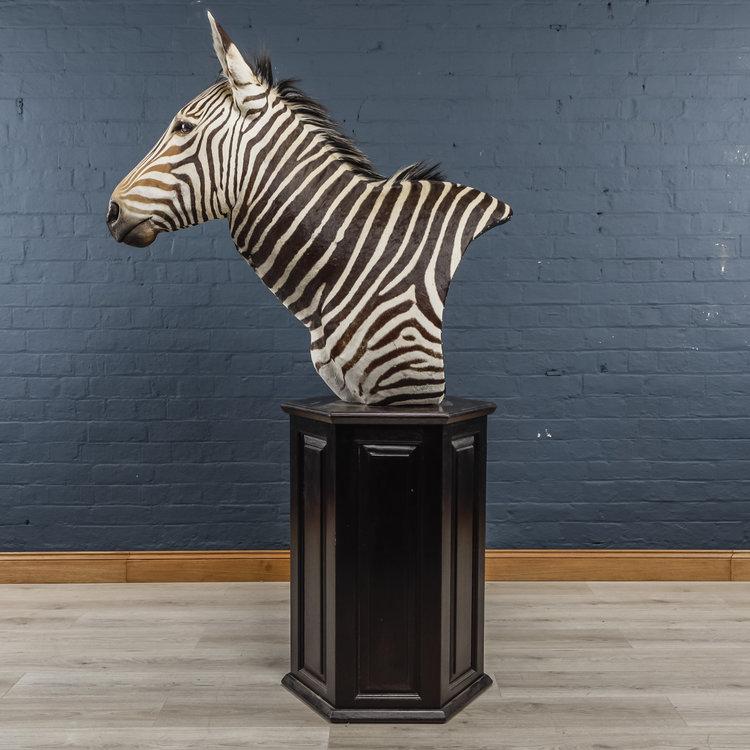 Zebra+Bust+One-9